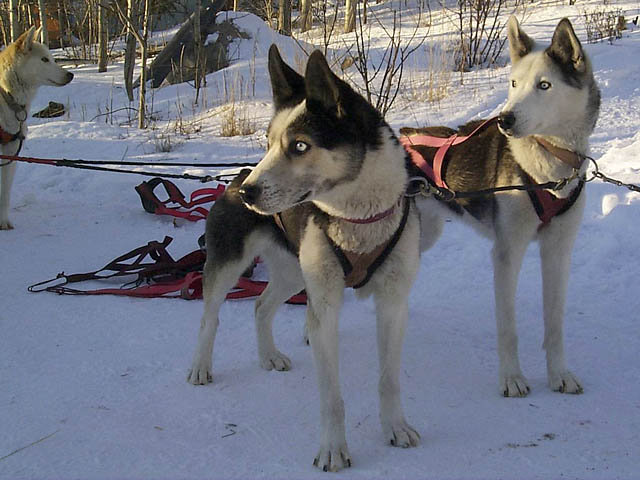 Yolanda of Seppala and Kolyma of Seppala, Markovo Seppala lead dogs