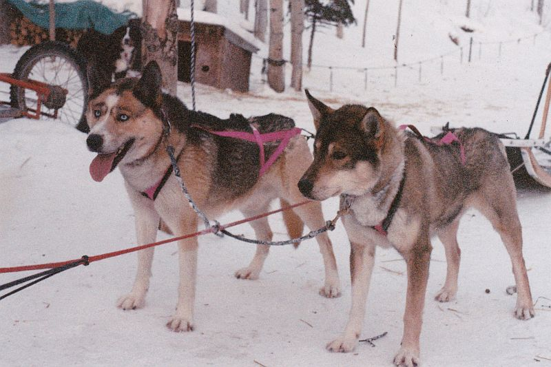 Xpace of Seppalta and River View's Hurley,           Seppala Siberian Sleddogs at Seppala Kennels, Yukon