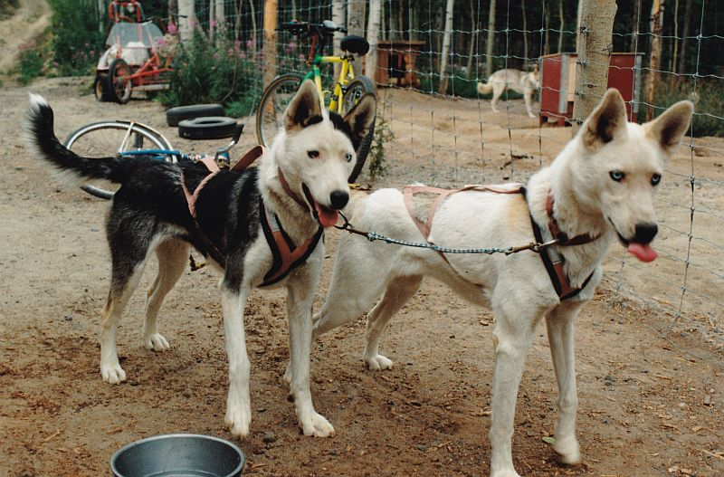Yolanda of Seppala and Sepalluna, Seppala Kennels lead dogs
