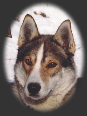 Marcobosco, beloved Seppala sleddog