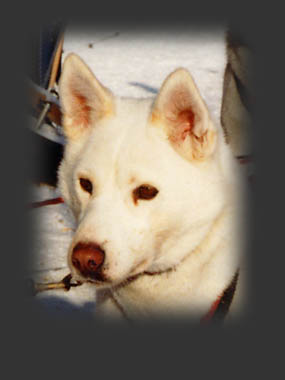 Dally of Seppa-Alta, beloved Seppala Siberian sleddog