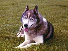 Ditko of Seppala lying, front view 1969, who inspired J. Jeffrey Bragg with the vision of a Seppala Siberian Sleddog breed.