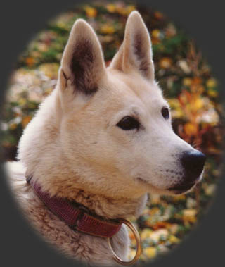 Karcajou's Dreama of Windigo, beloved Seppala Siberian Sleddog founder