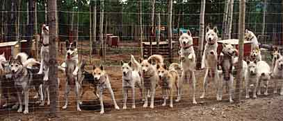 Seppalas at the kennel fence in Canada's Yukon Territory in the early days of Seppala Kennels.