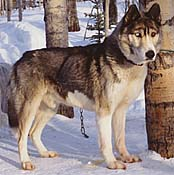 Grizzly of Sepp-Alta, a Seppala Siberian Husky who was very similar to Ditko of Seppala.