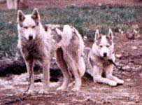 Helen and Holly of Markovo 1973, progeny of the Markovo Kennels rescue effort that saved the Leonhard Seppala strain from extinction and led ultimately to the Seppala Siberian Sleddog Project evolving breed programme in Canada's Yukon Territory.