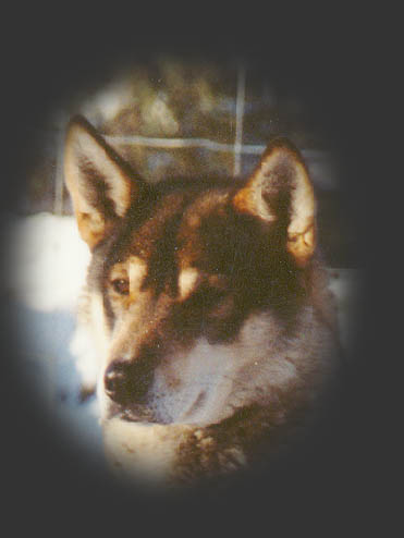 River View's Hurley, beloved Seppala sleddog