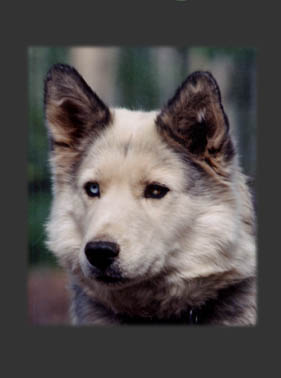 Kidron of Spirit Wind, beloved Seppala Siberian sleddog