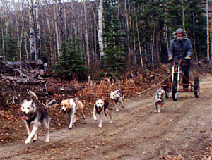 Kidron of Spirit Wind leads a puppy team in the Yukon