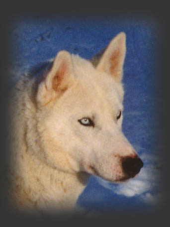 Sepalleopard, beloved Seppala sleddog