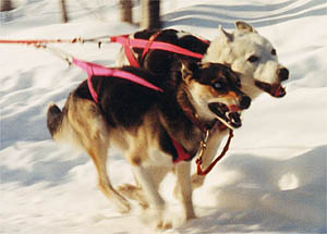 Tonya of Seppala and Sepalleo, Seppala lead dogs