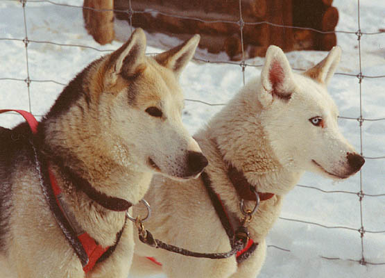 Sepallop and Sepalluna, Seppala Kennels          leaders, after a run in winter 1995