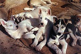 The historic LL litter of Seppala Siberian Sleddogs as puppies playing in their Spanish patio.