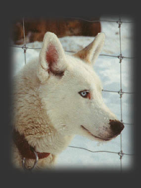 Sepalluna, beloved  and honoured Seppala Siberian sleddog