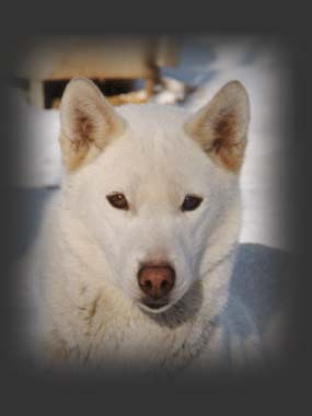 Markoboika, beloved Seppala sleddog