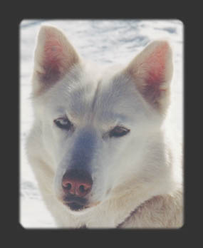 Norde of Sepp-Alta, beloved Seppala sleddog