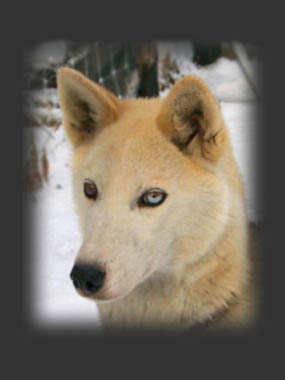 Nyura of Seppala, beloved Seppala sleddog