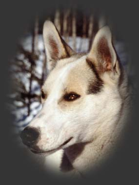 Sepallampo, beloved Seppala sleddog