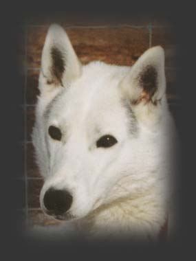 Sepalleo, beloved Seppala sleddog