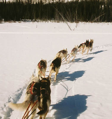 Seppala Kennels team 2002 led by Tonya of Seppala and Happy of Seppala