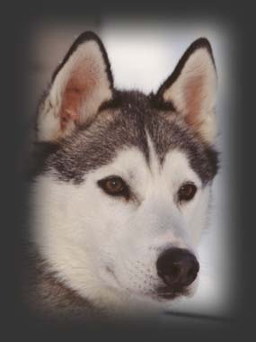 Shakal iz Solovyev, beloved Siberia import sleddog