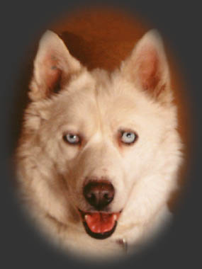 River View's Sprite, beloved Seppala Siberian sleddog