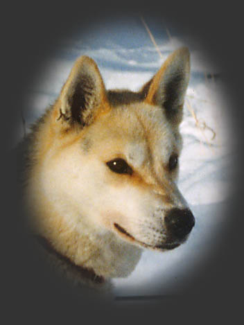 Surgut of Seppala, beloved Seppala sleddog