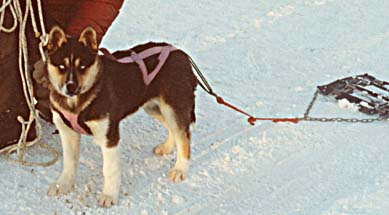 Sled Dog Training for Your Husky (2)
