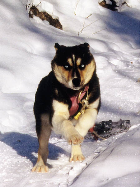 Tonya of Seppala in harness as a puppy