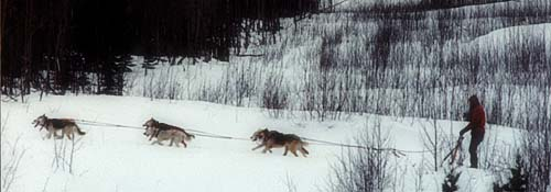 A team of Seppala Siberian Sleddogs at twilight in Canada's Yukon Territory