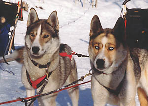 Markobosco and Xpace of Seppalta at wheel          on a dog team at Seppala Kennels, Yukon
