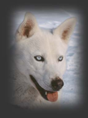 Zar of Seppala, beloved Seppala sleddog