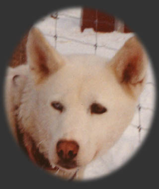 Zirconia of Sepp-Alta, beloved Seppala Siberian sleddog