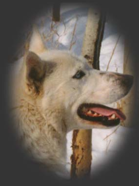 Zoltan of Seppala, beloved Seppala sleddog